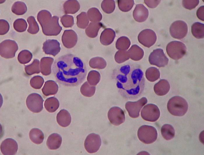 Какую роль играют нейтрофилы в крови