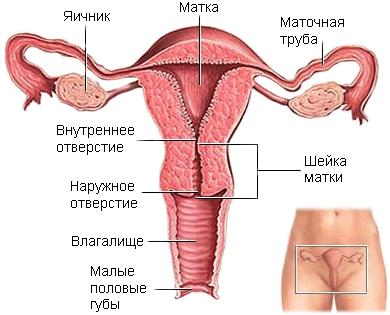 малый таз фото у женщин
